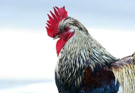 WATCH: Chicken stops play!
