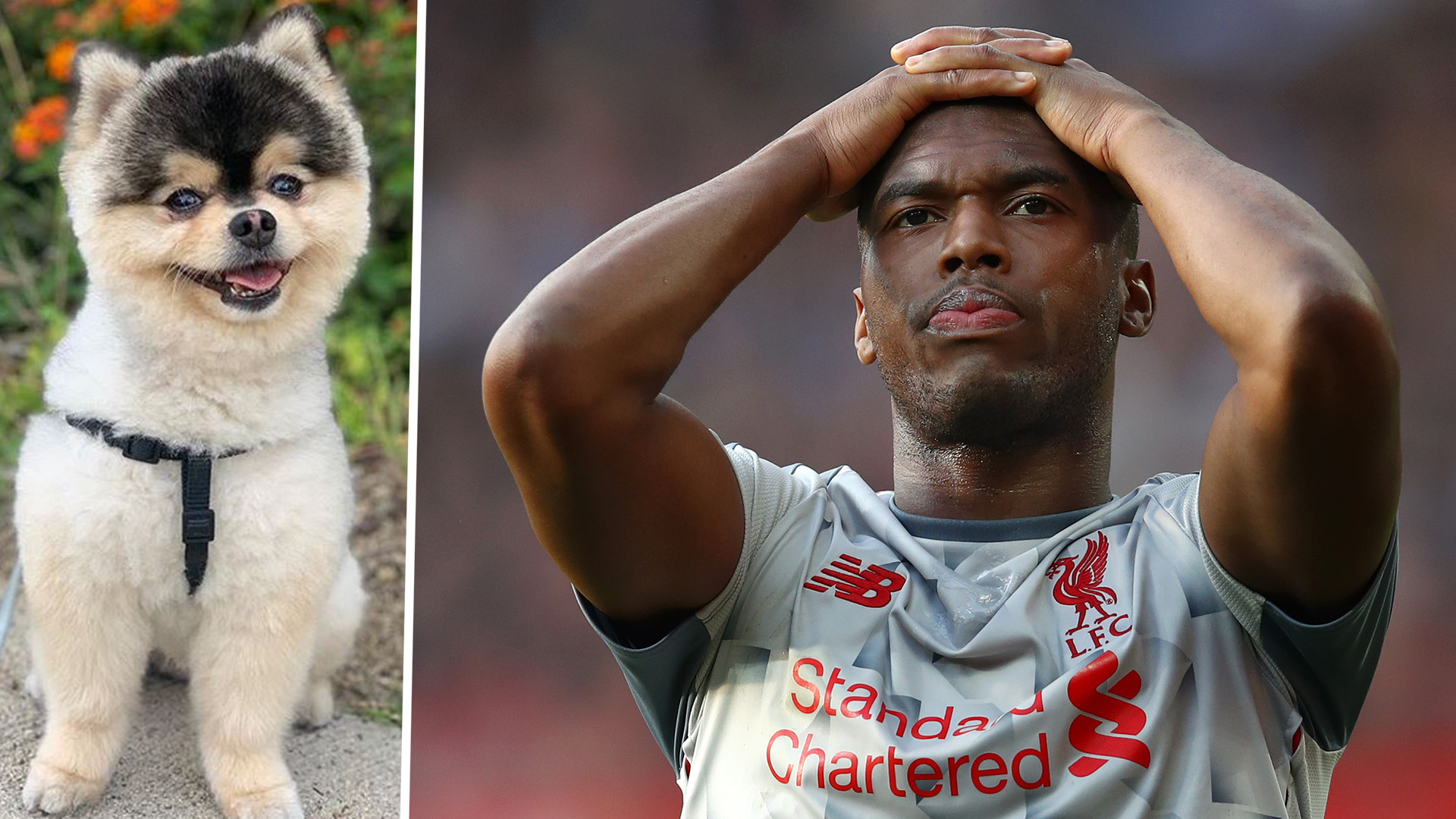 Sturridge offers £30k for return of his dog after its stolen from his Los Angeles house