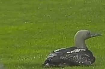 VIDEO: Angry duck causes chaos in Bulgarian top flight game
