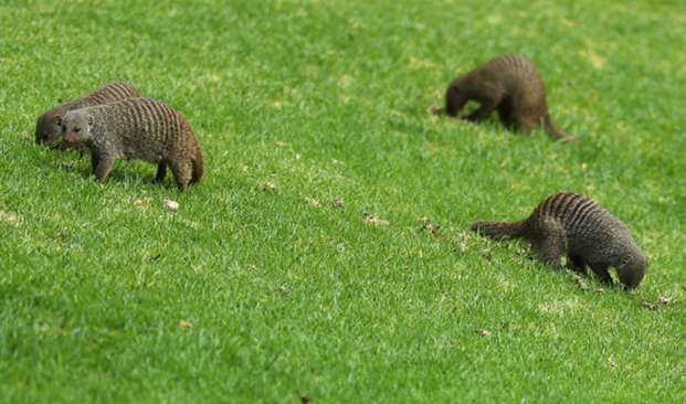 Mongooses at Sun City - cropped