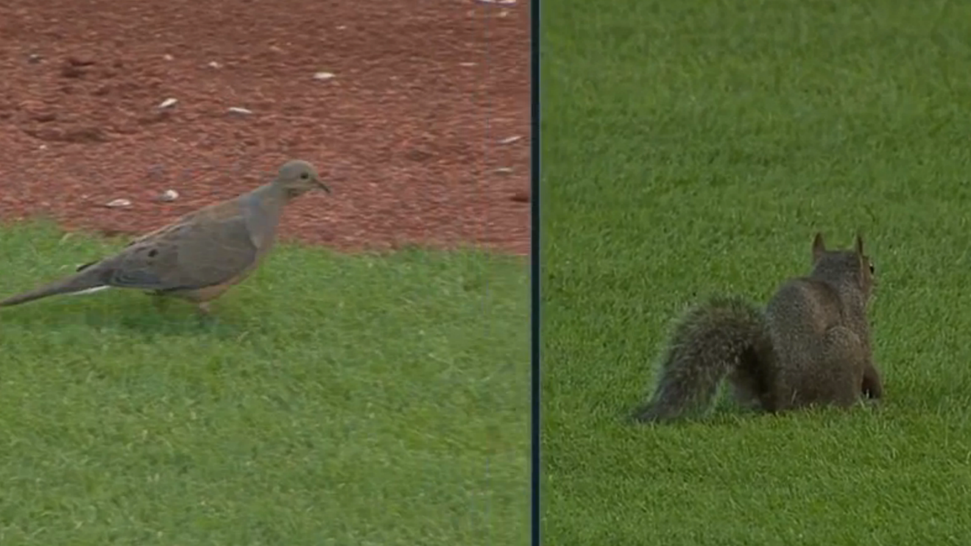 Animals invade Busch Stadium