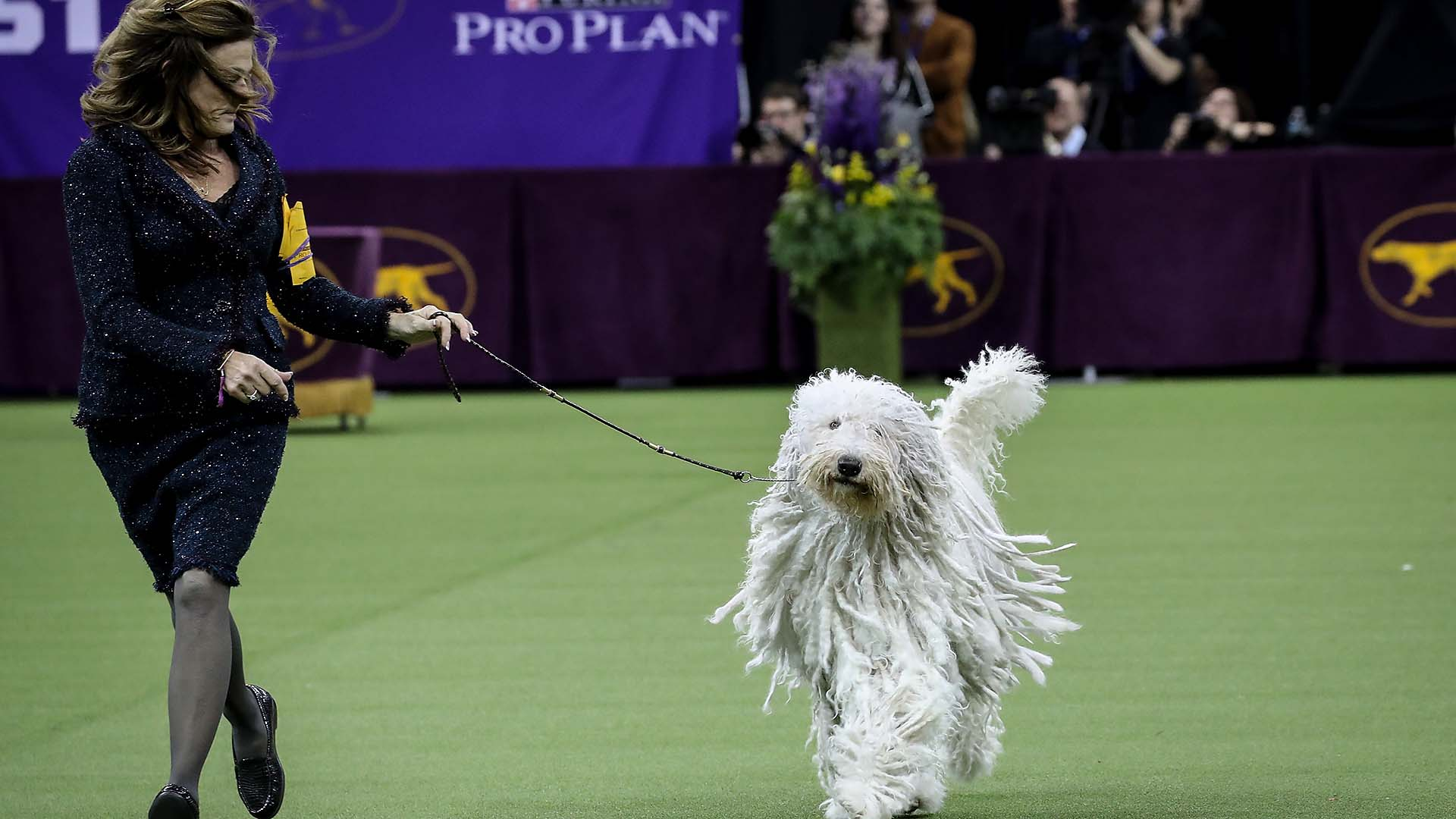 Photos: 2018 Westminster Dog Show | Sporting News