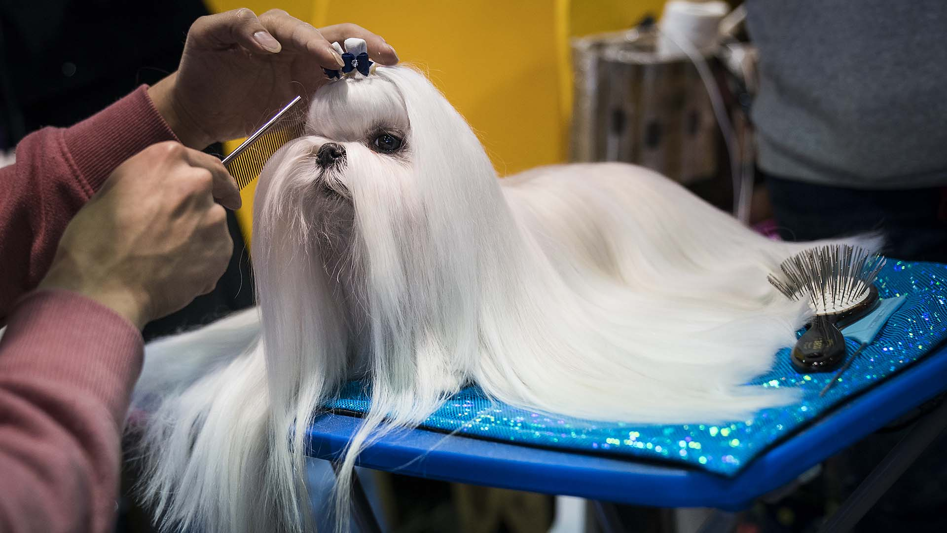westminster dog show 2018  breed results  winners  best in