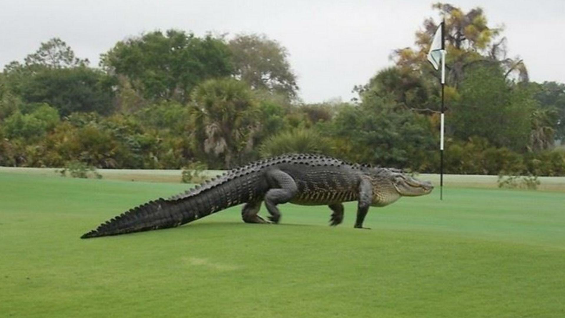 golf-alligator-031115-ftr-ftw.jpg