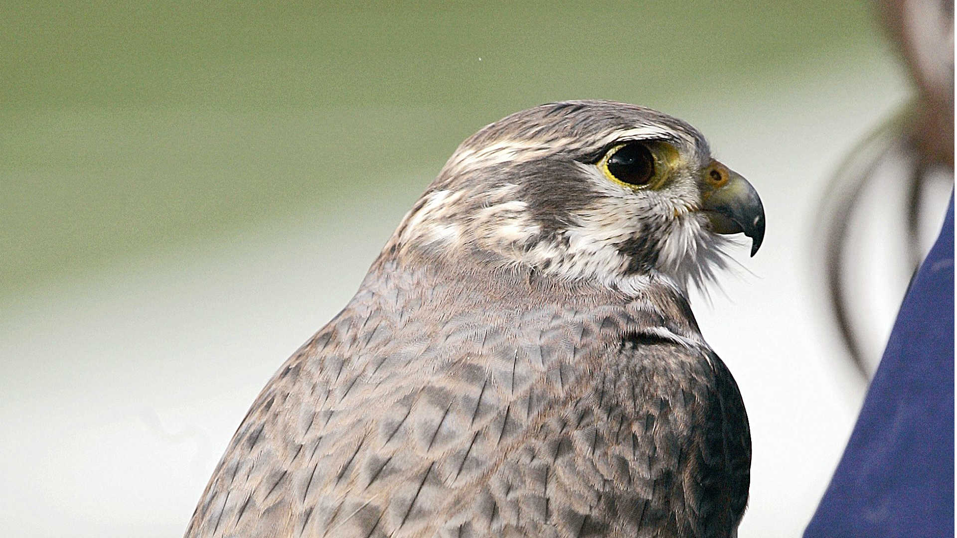 Aurora, the Air Force's falcon, injured in West Point prank