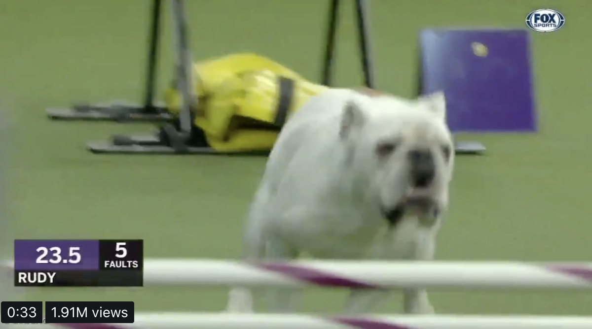 Rudy the bulldog steals hearts with blazing speed at Westminster Dog Show