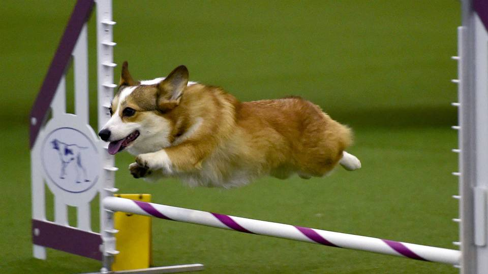 Where To Watch Westminster Dog Show Online