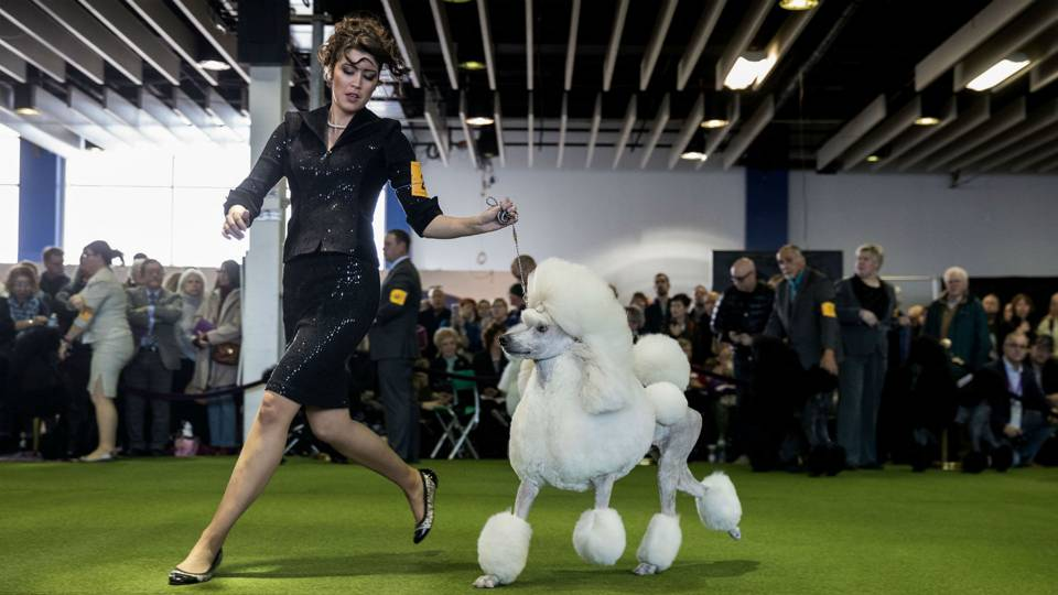 Westminster dog show 2017 breed results winners best in show other sports sporting news for Cal expo home and garden show 2017