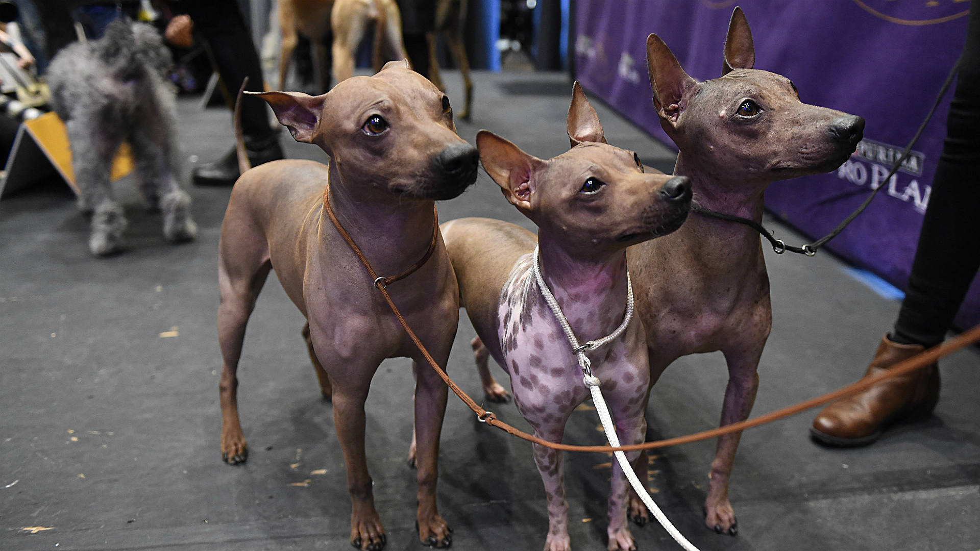 Where Can I Watch  Westminister Dog Show