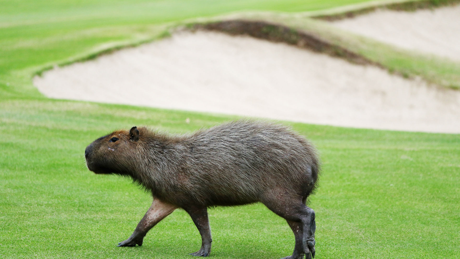 Olympic notebook: Birdies, pars and giant capybara rodents ...