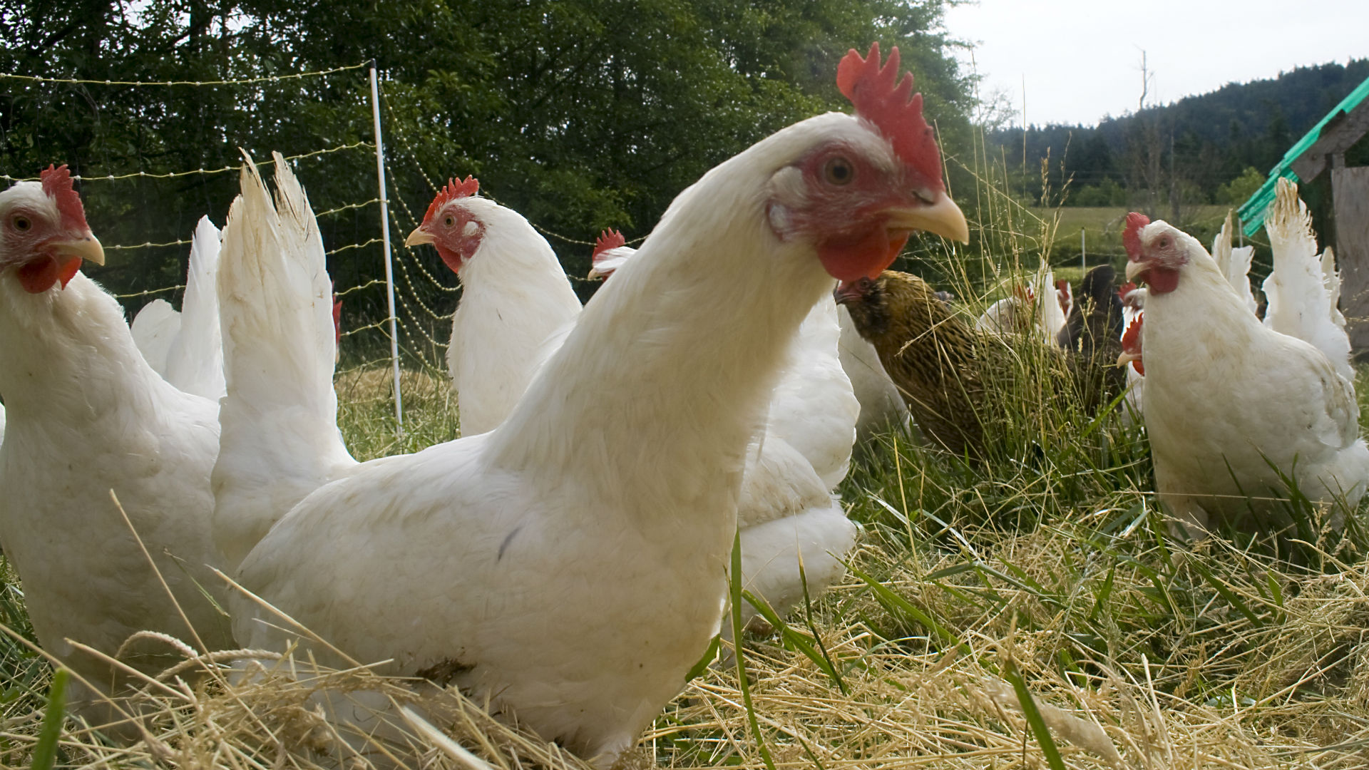 Best Foods For Domestic Chickens
