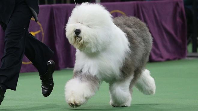 Westminster Dog Show  Attendance