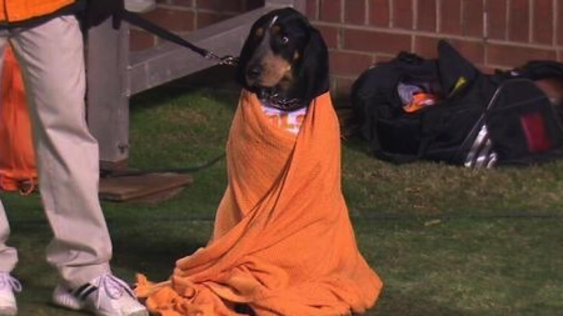 smokey vols 111514 ftr twjpeg_1nl9rspfxt62t1o61brno6r3ej?t= 1243092879&w=960&quality=70 volunteers mascot smokey the dog snuggles in blanket, is super