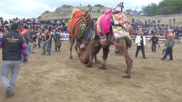 Turchia, durissimi scontri tra cammelli