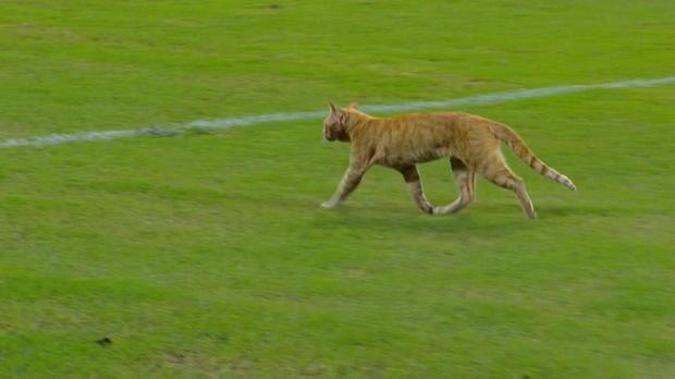Copa Sudamericana: Eine Katze auf dem Platze