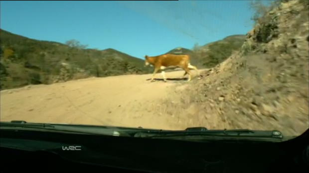 Hirvonen nearly hits Cow