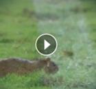 Brasilien: Ratte flitzt bei Pokalspiel über den Platz