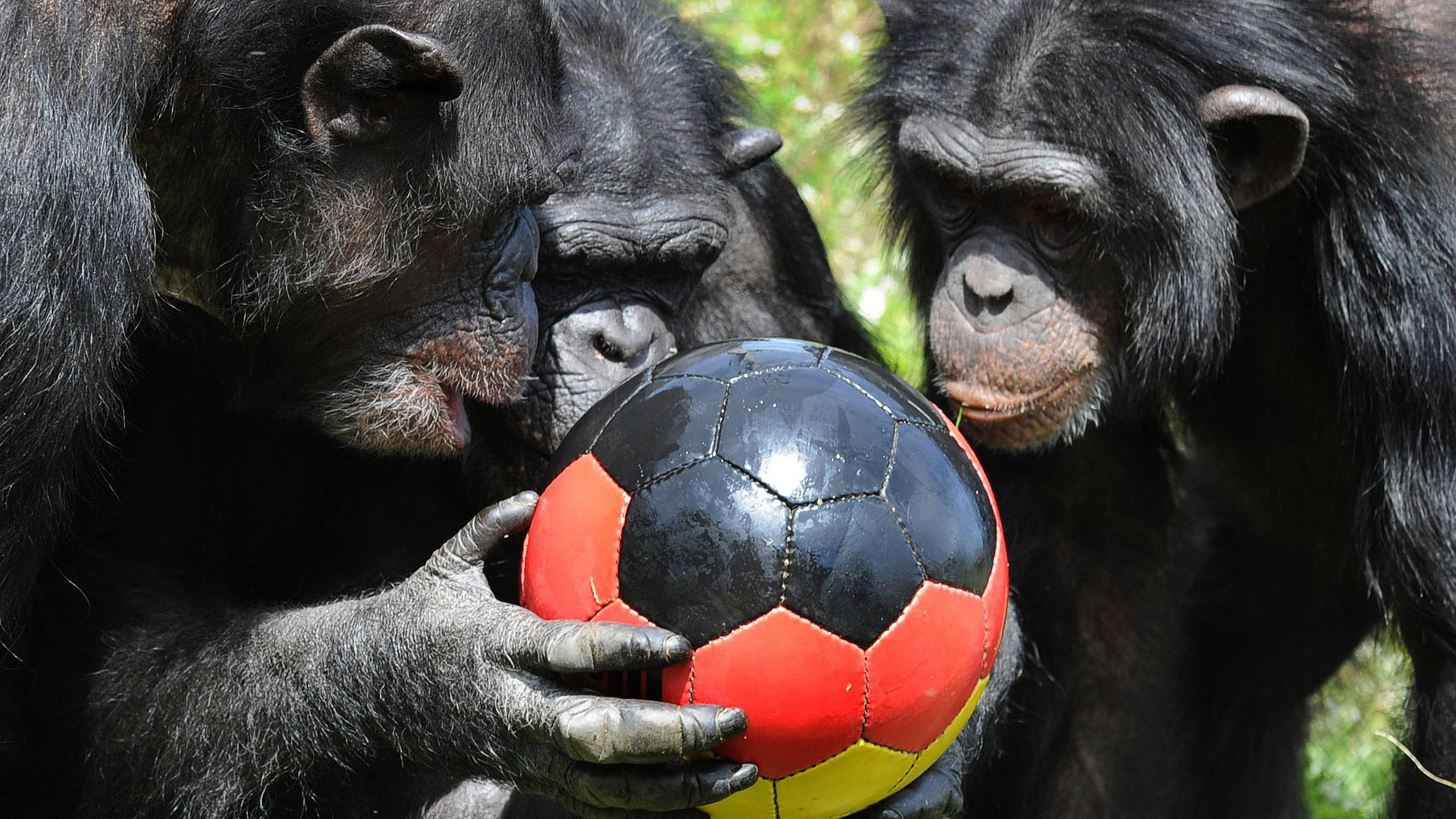 A group of chimpanzee play with a ball