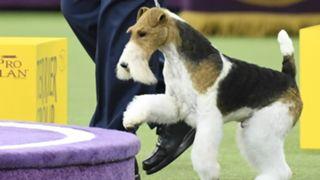 King-Fox-Terrier-FTR-Getty-021219